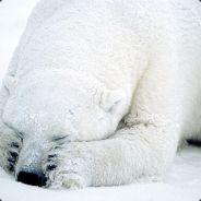 blind polar bear