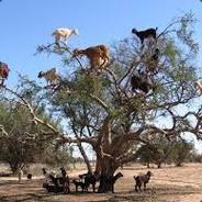 Tree Goat   trade.tf
